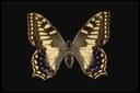 Géné - 1839 Lunghezza ala anteriore 34-40mm Distribuzione in Italia: Sardegna. Habitat: Prati e radure del piano basale e montano fino a circa 1600 metri s.l.m. Generazioni annuali: Una sola con sfarfallamento degli adulti da marzo a giugno.