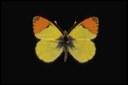 Staudinger - 1869 Lunghezza ala anteriore 16-21 mm. Distribuzione in Italia: Alpi occidentali e centrali, Appennino centro-meridionale. Habitat: Prati e cespuglieti del piano basale e montano tra i 300 e i 2000 metri s.l.m. Generazioni annuali: Una sola con sfarfallamento degli adulti in aprile-maggio