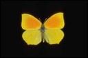Linné - 1767 Lunghezza ala anteriore 27-33 mm. Distribuzione in Italia: Italia centro-meridionale isole comprese e alcune località dell'Italia settentrionale. Habitat: Specie termofila, frequenta la macchia mediterranea e i margini dei boschi e le radure dal livello del mare al piano montano fino a circa 1500 metri s.l.m. Generazioni annuali: Una con sfarfallamento degli adulti in giugno e una seconda parziale in agosto