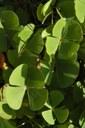 Orto Botanico Un esemplare di Marsilea Quadrifolia (Quadrifoglio d'acqua)